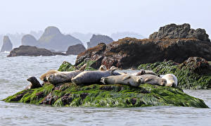Картинки Камни Тюлени Лежат Животные