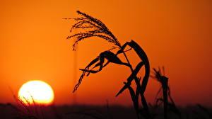 Картинки Рассветы и закаты Солнца Силуэта Колос Природа
