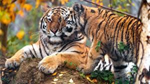 Фотографии Тигр Детеныши Двое Милая Лапы животное