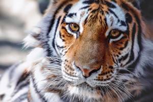Картинки Тигры Нос Морда Взгляд