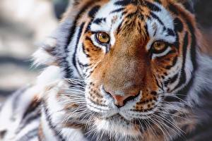Картинки Тигры Нос Морда Взгляд животное