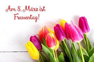 Обои для рабочего стола Тюльпан Международный женский день Немецкий цветок