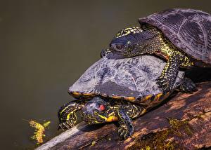 Фото Черепахи Крупным планом Два