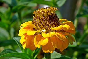 Фото Майоры Вблизи Желтая цветок