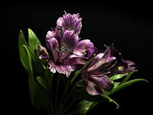 Обои Альстрёмерия Крупным планом Черный фон Фиолетовая Цветы