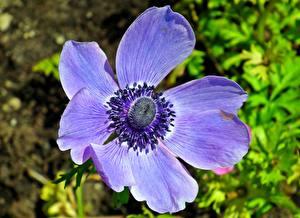 Картинки Анемоны Вблизи Фиолетовый Цветы
