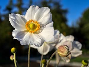 Фотографии Анемоны Крупным планом Белая Бутон Размытый фон Цветы