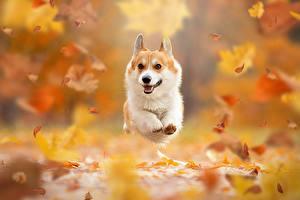 Фото Осенние Собаки Лист Бег Вельш-корги Размытый фон животное