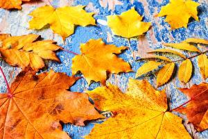 Фотография Осень Листва Клёна Природа