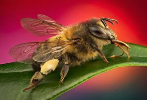 Фото Пчелы Крупным планом Животные