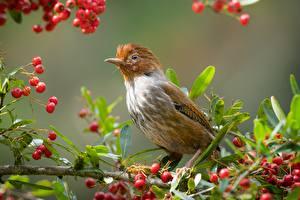 Картинки Ягоды Птица Ветвь Taiwan Formosan Barwing животное