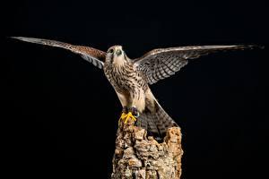 Обои Птицы Крылья European Kestrel Животные
