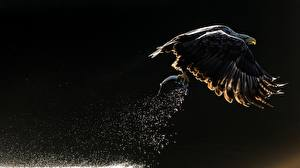 Обои Птицы Рыбалка Орлы Полет Охоте Белоголовый орлан Брызги животное
