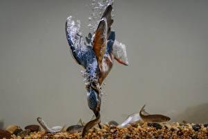 Фото Птицы Рыбалка Вода Подводный мир Обыкновенный зимородок Рыбы Охотится Животные