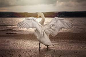 Фотография Птица Лебедь Крылья