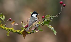 Фотография Птица Синиц На ветке Листва Размытый фон животное