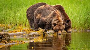 Картинки Медведи Бурые Медведи Пьет воду 2 Животные