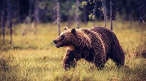 Картинки Медведь Гризли Траве Животные