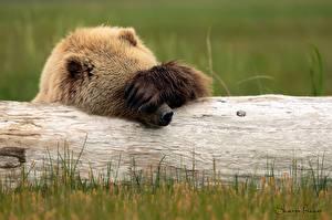 Картинка Медведи Бурые Медведи Лапы Забавные Бревно животное