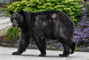 Картинки Медведи Гризли Сбоку Черных Животные