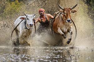 Фотографии Быки Вода Мужчины Бегущая С брызгами Traditional bull race Животные