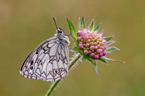 Фото Бабочки Размытый фон Marbled white, Succisa Животные