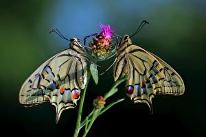 Фотография Бабочки Боке Двое Papilio machaon животное