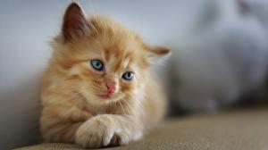 Обои Кошки Боке Котята Смотрят Лап Рыжий Милые