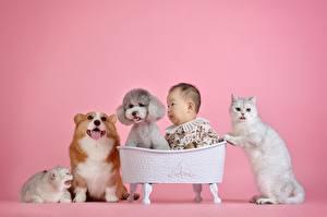 Фотография Кошки Собаки Азиаты Вельш-корги Пудель Пуделя Розовый фон