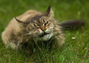 Картинка Кошки Трава Усы Вибриссы Забавные Животные