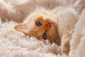 Картинка Кошки Котята Морды Взгляд