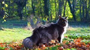 Фотографии Коты Мейн-кун Серые Животные