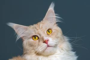 Картинка Кот Мейн-кун Голова Цветной фон животное