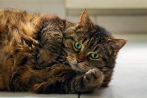 Картинка Кошки Морда Толстая Лап