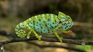 Фотография Хамелеоны Ветвь Зеленая животное