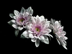 Картинка Хризантемы На черном фоне Трое 3 Белые цветок