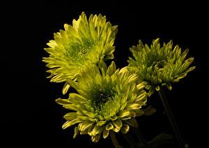Обои Хризантемы Черный фон Втроем Салатовые