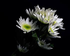 Фотография Хризантемы Черный фон Белый Цветы