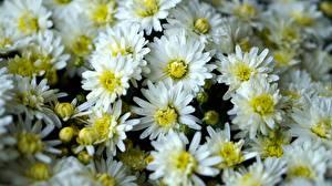 Фотографии Хризантемы Много Белый Цветы