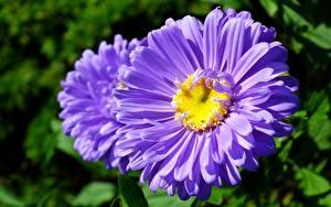 Обои Крупным планом Астры Размытый фон Фиолетовый Цветы картинки