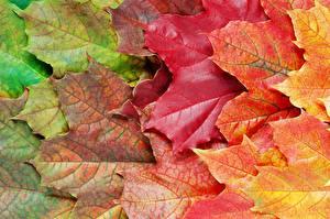 Фото Вблизи Осенние Листва Клёна