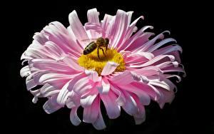 Обои для рабочего стола Вблизи Пчелы Насекомые Астры Черный фон Розовый Цветы