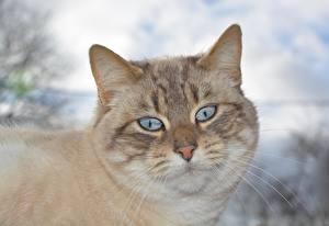 Фото Крупным планом Кошки Голова Смотрят Усы Вибриссы Морды животное