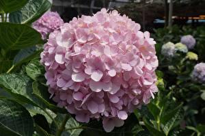 Фотографии Вблизи Гортензия Розовый цветок