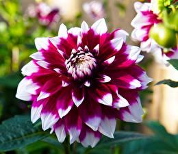 Картинки Георгины Вблизи Цветы