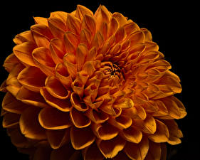 Фотографии Георгины Вблизи Черный фон Оранжевые Цветы