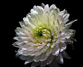 Фотографии Георгины Вблизи Черный фон Белый Цветы