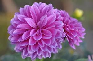 Картинки Георгины Крупным планом Розовая Цветы