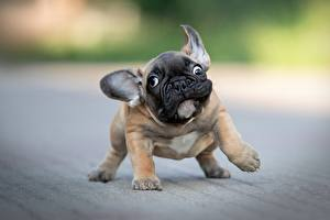 Фотографии Собака Забавные Бульдога Щенки Боке животное