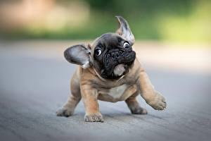 Фотографии Собака Смешной Бульдога Щенки Боке животное